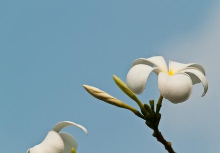 frangipani,Plumeria flowers Stock Photo - 12296969
