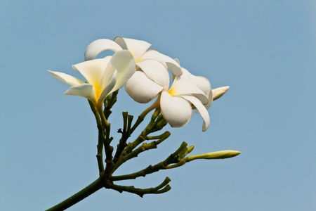 frangipani,Plumeria flowers Stock Photo - 12824065