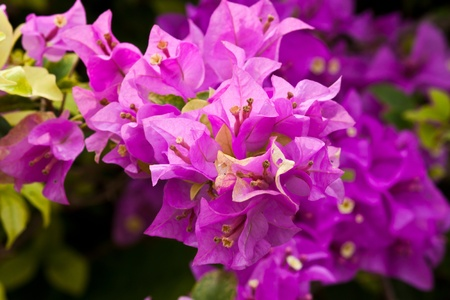 a bunch of bougainvillea photo
