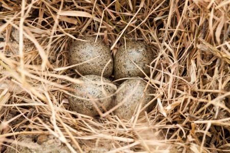 brown eggs at hay nest in chicken farm Stock Photo - 15225035