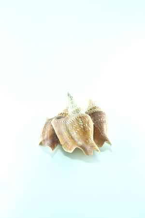 Marine sea shell in a studio setting against a white background Stock Photo - 18012761