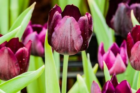 colorful tulips photo
