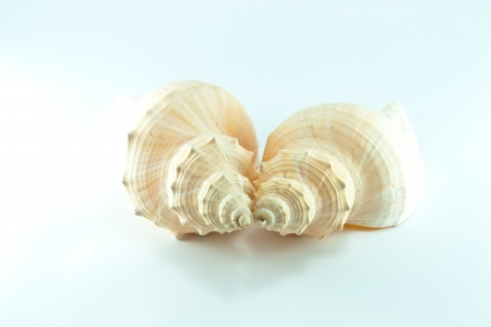 Marine sea shell in a studio setting against a white background Stock Photo - 19399280