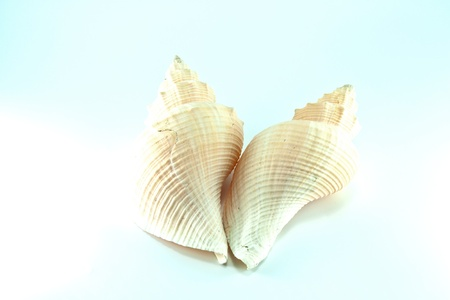 carbonate: Marine sea shell in a studio setting against a white background Stock Photo