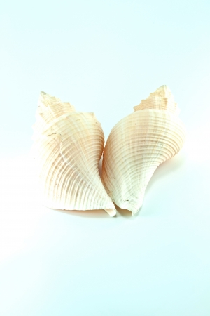 Marine sea shell in a studio setting against a white background Stock Photo - 19399276
