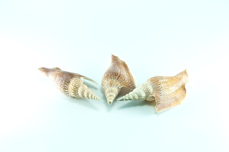 Marine sea shell in a studio setting against a white background Stock Photo - 19621543