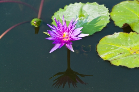 lotus on the River photo
