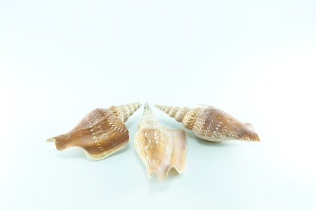 Marine sea shell in a studio setting against a white background Stock Photo - 19793984