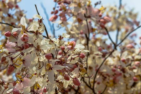 resemble: Wishing Tree, Pink Showe, Cassia Bakeriana Craib, Beneath a tree flowering pink resemble sakura  Thailand Stock Photo