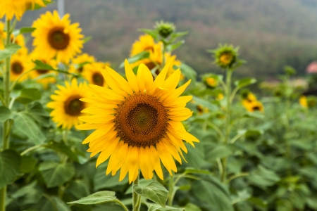 Agriculture stock image - Sunflower field Stock Photo