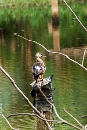 lesser: Lesser Whistling Duck Closeup