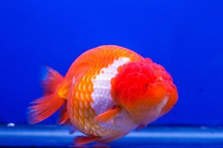 south american cichlid: fish native