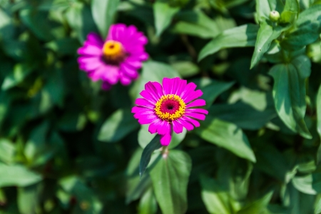 Flower zinnia of lilac color photo