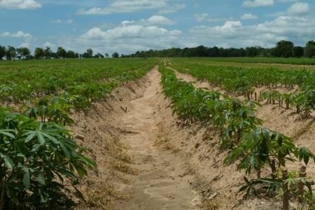 provide: Cassava or manioc plant field in Thailand Stock Photo