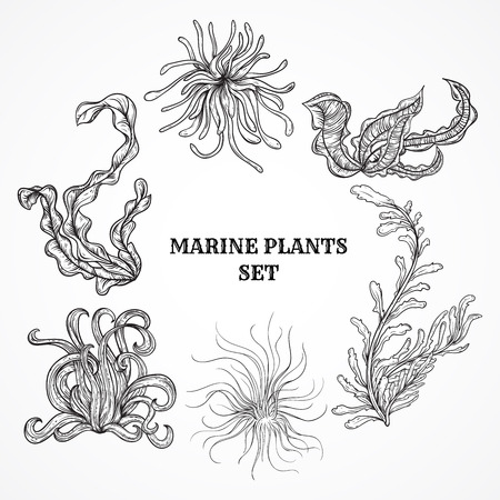 Collection of marine plants, leaves and seaweed. Vintage set of black and white hand drawn marine flora. Isolated vector illustration in line art style.Design for summer beach, decorations. Imagens - 44082920