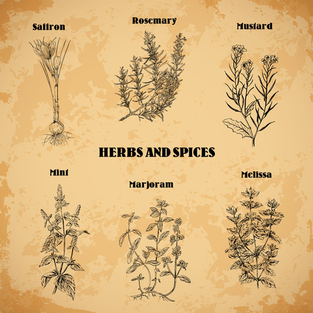 Cooking herbs and spices. Rosemary, saffron, mustard, mint, marjoram, melissa. Retro hand drawn vector illustration. Retro banner, card, scrap booking, postcard, poster Vettoriali
