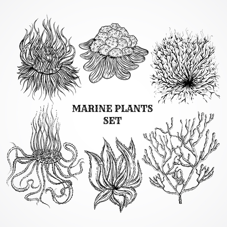 kelp: Collection of marine plants, leaves and seaweed. Vintage set of black and white hand drawn marine flora. Isolated vector illustration in line art style.Design for summer beach, decorations.