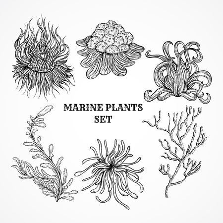 water weed: Collection of marine plants, leaves and seaweed. Vintage set of black and white hand drawn marine flora. Isolated vector illustration in line art style.Design for summer beach, decorations.