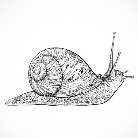 slow food: Snail. Vintage hand drawn vector illustration Illustration
