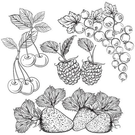 果実のコレクションです。イチゴ、チェリー、スグリ、ラズベリー。孤立した要素。ヴィンテージの黒と白手描きベクトル図