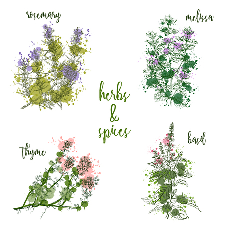 Cooking herbs and spices in watercolor style . Rosemary, melissa, basil, thyme. Retro hand drawn vector illustration. Retro banner, card, scrap booking, postcard, poster Illustration