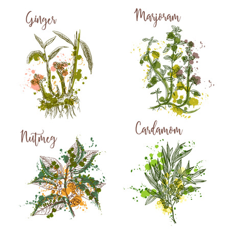 Cooking herbs and spices in watercolor style . Ginger, marjoram, nutmeg, cardamom. Retro hand drawn vector illustration. Retro banner, card, scrap booking, postcard, poster Vettoriali