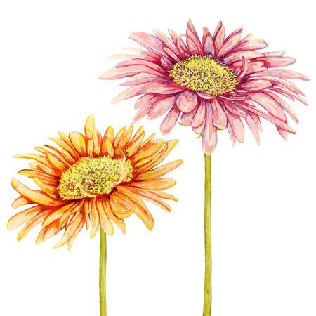 gerbera: Watercolor gerbera flowers. Hand drawn illustration Stock Photo