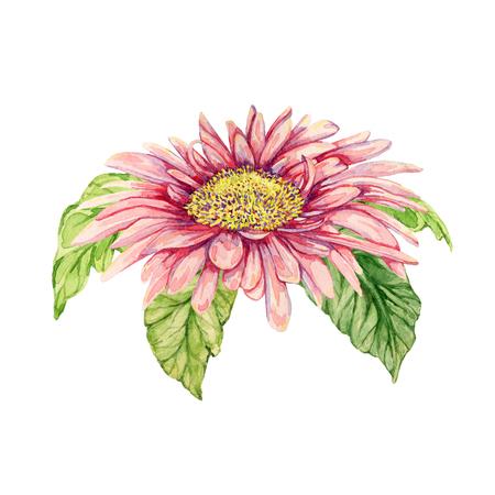 gerbera: Watercolor gerbera flower. Hand drawn illustration Stock Photo