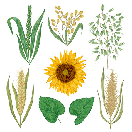 Cereals set. Sunflower, barley, wheat, rye, rice and oat. Collection decorative floral design elements. Isolated elements. Vintage vector illustration in watercolor style. Ilustracja