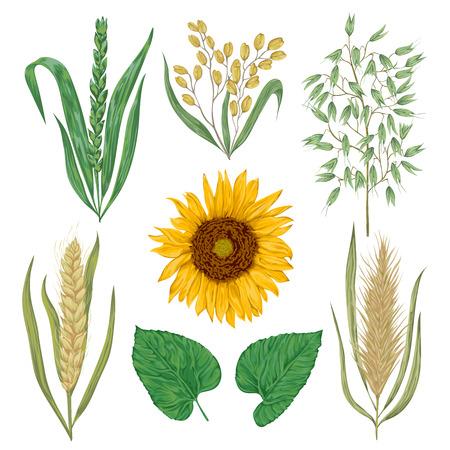 Granen stellen. Zonnebloem, gerst, tarwe, rogge, rijst en haver. Collectie decoratieve bloemen ontwerp elementen. Geïsoleerde elementen. Vintage vector illustratie in aquarel stijl.