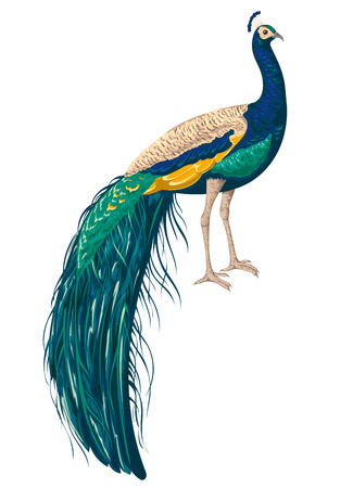 Peacock on white background. Hand drawn vector illustration in watercolor style
