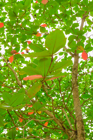 the view from below: green leaves view from below thailand tree Stock Photo