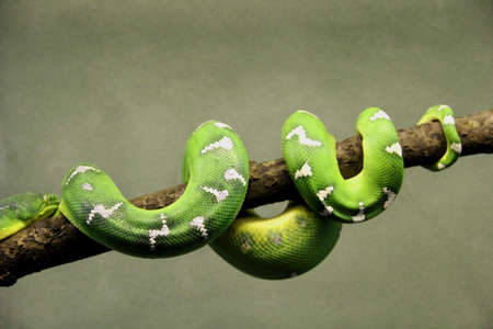 Green tropical snake lying on a branch of a tree with grey background