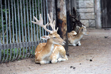 spotted: Stag of Japanese spotted deer (Cervus nippon) lying near the fence at the Toronto zoo