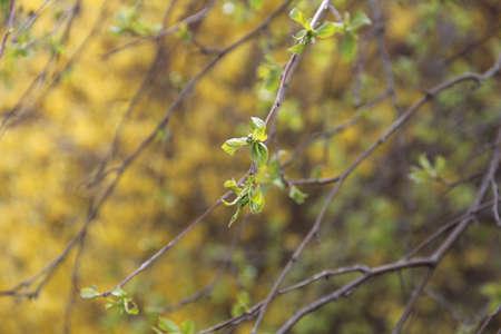 empezar: Rama de árbol floreciente con flores amarillas