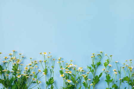 Beautiful Chamomile Flowers on Blue Background Top View Summer Flower Background Copy Space