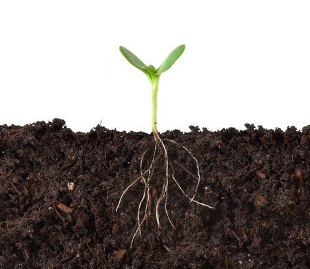 pflanze wurzel: Cutaway ein Keimling in Dirt - Roots Anzeigen