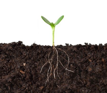 Cutaway of a Seedling in Dirt - Roots Showing Stock Photo - 2393147