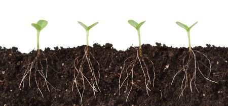 under ground: Cutaway of Seedlings in Dirt