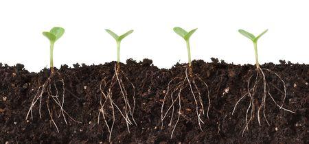 cutaway: Cutaway of Seedlings in Dirt