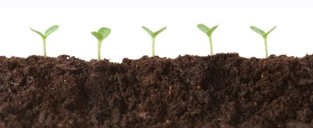 profile view: Seedlings growing in dirt, profile view against white.