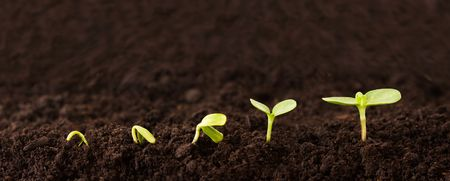 taller: Sequence of Seedlings Growing in Dirt Stock Photo