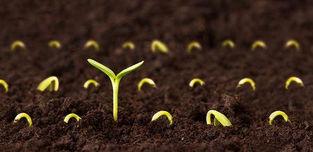 wśród: Jeden talowy seedling Wśród Kapusta Zdjęcie Seryjne