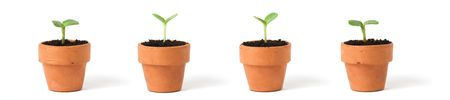 Seedlings in Pots, on white Stock Photo - 2406298