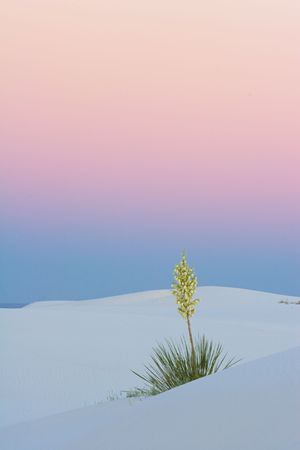 Yucca at Sunset, White Sands National Park, USA Stock Photo - 2701955