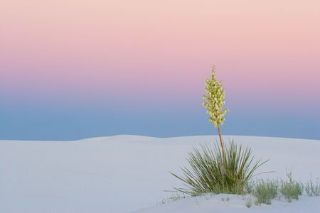 yucca: Yucca at Sunset, White Sands National Park, USA