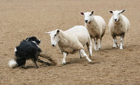 A sheep challenging a sheepdog in a dirt field.