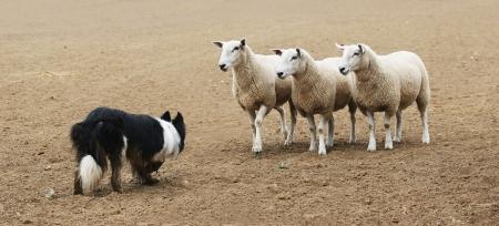 A sheepdog working a few sheep in a dirt field.