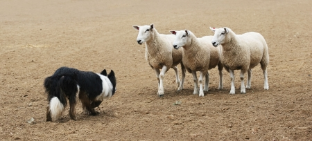 sheepdog: A sheepdog working a few sheep in a dirt field.