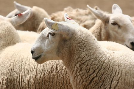 wooly: Flock of Sheep